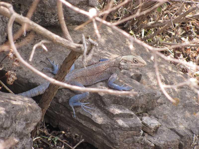 Kashmiri Rock Agamas (Laudakia tuberculata) mussoorie india himalayas