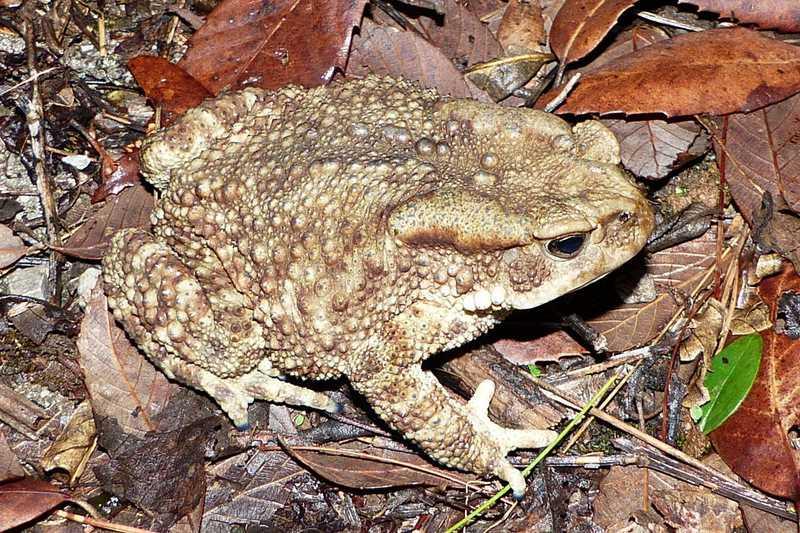 himalayan toad Duttaphrynus himalayanus mussoorie india himalayas