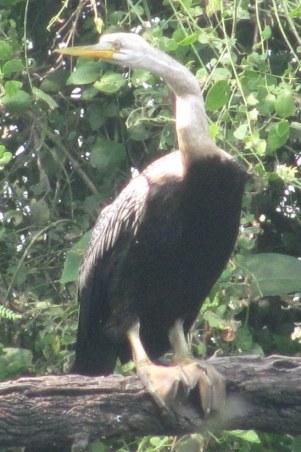 anhinga darter snakebird Bharatphur Keoladeo National Park