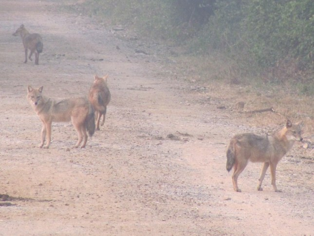 Golden Jackal Bharatpur Keoladeo National Park