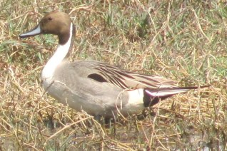 Northern Pintail Bharatphur Keoladeo National Park