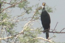 Great Cormorant Bharatphur Keoladeo National Park