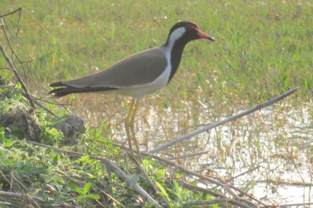 Red-wattled Lapwing Bharatphur Keoladeo National Park