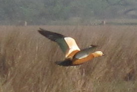 Ruddy Shelduck Bharatphur Keoladeo National Park