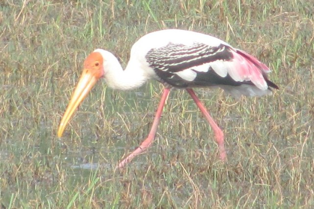 Painted Stork Bharatphur Keoladeo National Park