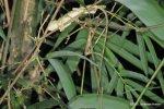 Emma Gray's Forest Lizard Calotes emma