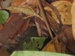 Boulenger's Long-headed Lizard Pseudocalotes microlepis