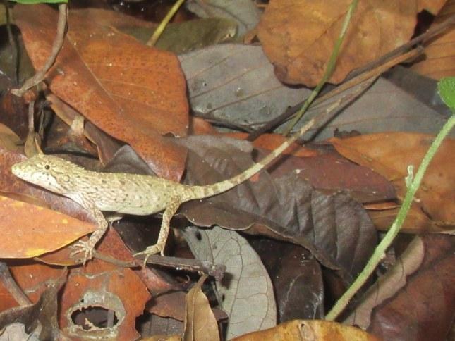 Burmese False Bloodsucker Pseudocalotes microlepis