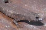 Thai Stream Skink Tropidophorus thai