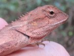Forest Crested Lizard Calotes emma juvenile