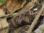 Emma's Forest Lizard Calotes emma juvenile