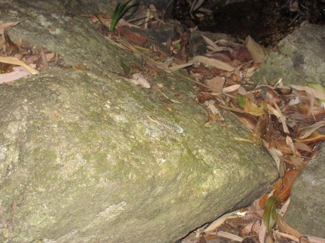 Varigated Bow-fingered Gecko Cyrtodactylus variegatus