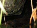 Doi Suthep Slender-toed Gecko Cyrtodactylus doisuthep