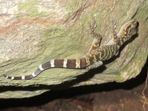 Doi Suthep Bent-toed Gecko Cyrtodactylus doisuthep