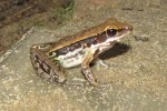 Cope's Assam Frog Sylvirana leptoglossa
