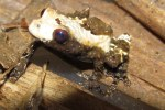 Bird Poop Frog Theloderma asperum
