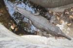 Sunda Gharial Tomistoma schlegelii