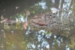 False Gavial Tomistoma schlegelii