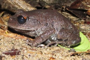 Smith's Litter Frog Leptobrachium smithi