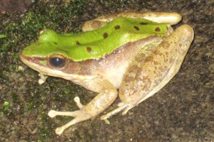 Green Cascade Frog Odorrana chloronota