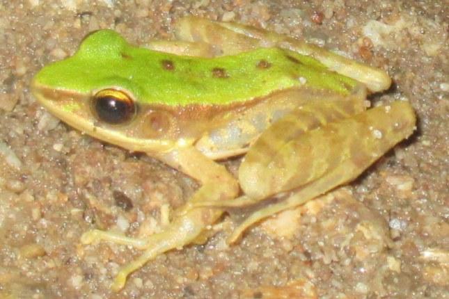 chloronate huia frog rana chloronota