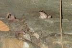 Green Mountain Frog Rana livida