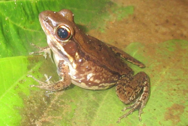 Cope's Assam Frog Hydrophylax leptoglossa