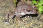 Vampire Frog Leptobrachium smithi