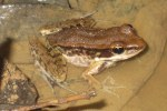 Long-tongued Frog Sylvirana leptoglossa