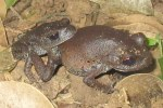 Smith's Litter Frogs Leptobrachium smithi mating