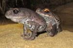 Vampire Frogs Leptobrachium smithi mating