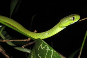 Green Cat Snake Boiga cyanea