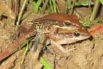 Cope's Assam Frog Hydrophylax leptoglossa
