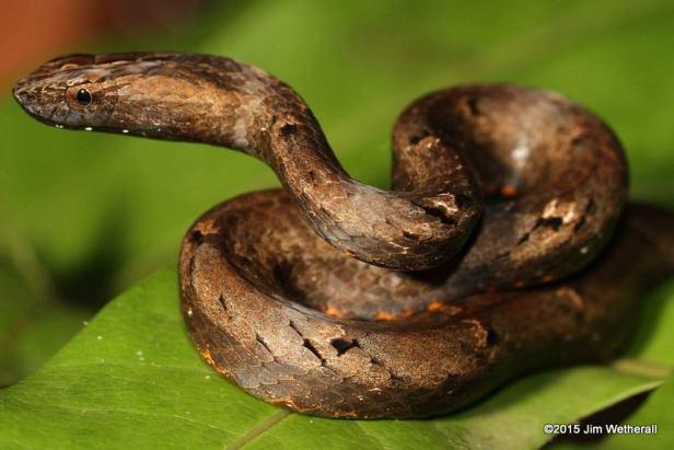 Mock Viper Psammodynastes pulverulentus