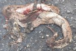 Malayan Pit Viper Calloselasma rhodostoma