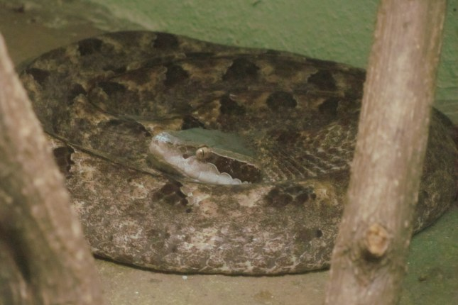 Malayan Pit Viper Calloselasma rhodostoma  Queen Saovabha Snake Farm