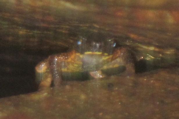 ansonia inthanon stream toad doi suthep © jon hakim