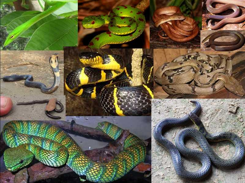 snakes of luzon philippines in laguna province