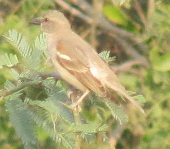 Chestnut-shouldered Bush Sparrow Bharatpur Keoladeo National Park
