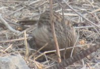 Common Babbler Bharatpur Keoladeo National Park
