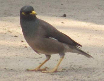 Common Myna Bharatpur Keoladeo National Park