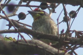 Coppersmith Barbet Bharatpur Keoladeo National Park