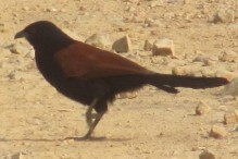 Greater Coucal Bharatpur Keoladeo National Park
