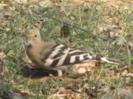 Hoopoe Bharatpur Keoladeo National Park