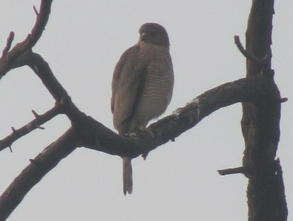 Shikra Bharatpur Keoladeo National Park