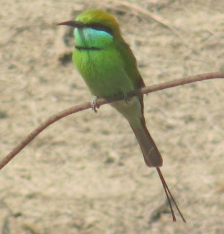 Green Bee-eater Bharatpur Keoladeo National Park