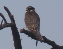 Laggar Falcon Bharatpur Keoladeo National Park