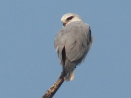 Black-shouldered Kite Bharatpur Keoladeo National Park