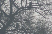 Dusky Eagle Owl Bharatpur Keoladeo National Park