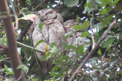 Indian Scops Owl Bharatpur Keoladeo National Park